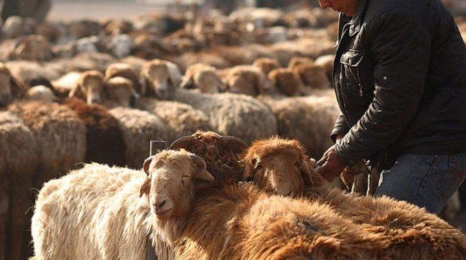 Apakah Hukum Mengasihani Haiwan Korban?